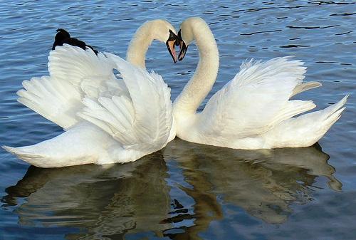 lovely_swans